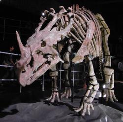 Mezi významné objevy v oblasti Ču-čcheng patří i vzácný příklad asijského ceratopsida, druhSinoceratops zhuchengensis. Dosahoval délky asi 6 metrů a hmotnosti kolem 2 tun. Vědecky popsán byl v roce 2010. Kredit: Kumiko, Wikipedie