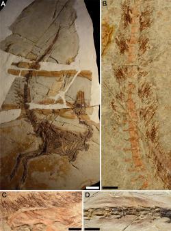 Dochované otisky opeření u několika jedinců kompsognatidního teropoda druhu Sinosauropteryx prima. Jak ukazuje nový výzkum, tito drobní predátoři byli zřejmě dobře maskovanými lovci menších obratlovců v otevřeném terénu. Kredit: Fiann M. Smithwick, Robert Nicholls, Innes C. Cuthill, Jakob Vinther; Wikipedie (CC BY 4.0)