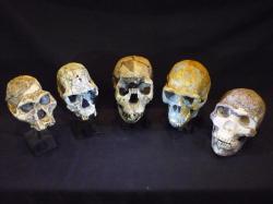 Lebky v lidské evoluci. Zleva doprava: Australopithecus afarensis, Homo habilis, Homo ergaster, Homo erectus a Homo neanderthalensis.  Kredit: Roger Seymour. Pořízeno v South Australian Museum.
