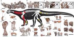 Kosterní anatomie a mapa dochovaných částí kostry holotypu I. prima. Tento starobylý sauropodní dinosaurus vykazuje přítomnost některých překvapivě moderních anatomických znaků, jako je například vyspělý respirační systém zahrnující i početné vzdušné vaky v kostech. Kredit: Apaldetti et al., 2018