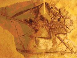 Holotyp druhu S. pilosus, na jehož základě byl tento druh ptakoještěra v roce 1971 formálně popsán. Celkem je známo sedm exemplářů, z nichž dva vykazují přítomnost pykno-vláken (u ostatních byly tyto útvary rovněž přítomny, ale nedochovaly se ve fosilním stavu). Rozpětí křídel tohoto ptakoještěra nepřesahovalo 70 centimetrů. Kredit: R. A. Elgin et al.; Wikipedie (CC BY 2.0)