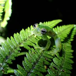 Rosněnka středoamerická, Panama. Kredit: Douglas Woodhams / Smithsonian Tropical Research Institute.