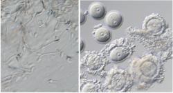 Vlevo spermie vypěstované z kmenových buněk, vpravo vajíčka vypěstovaná z kmenových buněk. Kredit: Saitou, ICEMS.