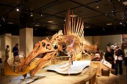 Moderní rekonstrukce kostry plovoucího spinosaura, vypracovaná na základě objevu nového exempláře, popsaného v roce 2014 z Maroka. Celková délka kostry činí asi 15 metrů, patřila však dosud ještě plně nedospělému jedinci. Je možné, že starší exempláře dorůstaly do ještě větší délky. Hmotnost dinosaura zřejmě mohla přesáhnout 10 metrických tun. Kredit: Mike Bowler, Wikipedie (CC BY 2.0)