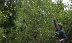 """Andrew Sher, spoluautor objevu, při sběru """"hnojiva"""" z listů topolů.(Kredit: Sharon L. Doty)"""