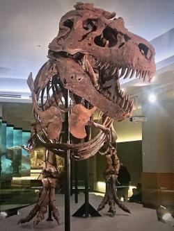 """Slavnější a kompletnější jedinec zvaný """"Sue"""" byl objeven o rok dříve (1990) na území Jižní Dakoty. S odhadovanou hmotností téměř 8,5 tuny je dnes druhým největším známým jedincem tyranosaura. Zde aktualizovaná podoba kostry po celkové rekonstrukci z prosince roku 2018 v expozici Field Museum of Natural History v Chicagu. Kredit: Zissoudisctrucker; Wikipedie (CC BY-SA 4.0)"""