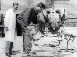 Slavný německý paleontologFriedrich von Huenepopsal v roce 1941 domnělého polského sauropoda pod jménemSuccinodon putzeri. Zemřel ve svých 94 letech v roce 1969, proto se již nemohl dozvědět, že se ve skutečnosti jednalo o fosilii raně paleogénních vrtavých mlžů. Na fotografii je von Huene v bílém plášti, stojící u zrekonstruované kostry triasového dicynodonta druhuStahleckeria potensv prostorách Univerzity v Tübingenu.Kredit:Wikipedie(volné dílo)