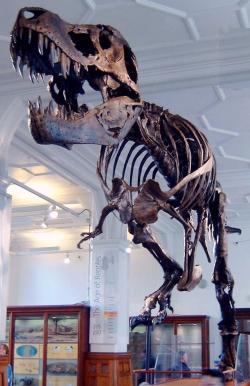 """Působivá kostra mladého dospělce druhu Tyrannosaurus rex, přezdívaná """"Stan"""". Délka tohoto exempláře dosahovala asi 11,3 metru, což je o metr méně, než v případě rekordní """"Sue"""". Zde replika kostry vystavená od roku 2004 v trvalé expozici v Manchesterském muzeu. Kredit: Billlion, Wikipedie (CC BY-SA 3.0)"""