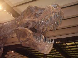 """Lebka velkého jedince tyranosaura, zvaného """"Stan"""", zde v expozici Královského belgického institutu přírodních věd. Lebka měří na délku zhruba 140 centimetrů a patřila zvířeti o celkové hmotnosti přes 7 metrických tun. Vlastní snímek autora (© Vladimír Socha, únor 2009)."""