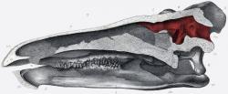 Průřez lebkou a znázornění mozkové dutiny u ptakopánvého dinosaura druhu Stegosaurus stenops. Červeně vyznačená mozkovna měla přibližně objem mandarinky, což je k celkové velikosti těla tohoto dinosaura (délka až 9 metrů, hmotnost kolem 5 tun) velmi málo. Určitě to ale neznamená, že tento pozdně jurský tyreofor musel být vybaven ještě jedním nervovým centrem ve své pánevní oblasti. Kredit: Frederick Berger; Wikipedia (volné dílo)