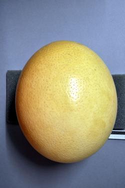 """Ideálním """"nosným médiem"""" pro zrekonstruovaný genom neptačího dinosaura by nejspíš bylo pštrosí vejce. Je větší než krokodýlí vajíčka a jeho původce je navíc vývojově bližším příbuzným druhohorních dinosaurů. Kredit: Klaus Rassinger, Gerhard Cammerer; Wikipedie (CC BY-SA 3.0)"""
