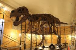 """Nově zrekonstruovaná kostra nejslavnějšího exempláře tyranosaura """"Sue"""", tentokrát i s """"břišními žebry"""" (gastráliemi). Mozek tohoto jedince měl objem 0,414 litru a jeho EQ činilo zhruba 1,6 až 2,2. Jeho mozek byl tedy v poměru k velikosti těla asi dvakrát větší než u současného aligátora. Kredit: Jonathan Chen, Wikipedie (CC BY-SA 4.0)"""