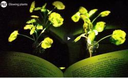 První generace svítících rostlin připravených pracovníáky MIT v roce 2017. Kredit: MIT.