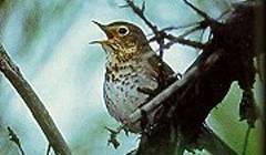 """Drozd malý (Catharus ustulatus). Jeho 35 gramů hravě překonává americký kontinent od Hondurasu po Aljašku. V době tahu prakticky nespí. Aby takovou zátěž vydržel, naučil se """"vypínat"""" polovinu mozku. (Foto: Matt Reinboldfrom Bismarck, ND, USA, Wikipedia) https://en.wikipedia.org/wiki/Swainson%27s_thrush"""