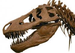 Strkat v manéži hlavu do tyranosauří tlamy by byl jeden z nejhloupějších nápadů. Tento teropod dokázal stisknout čelisti silou odpovídající působení hmotnosti přes 3600 kilogramů. Na korunkách zubů dokázal dokonce vyvinout tlak až 30 300 kilogramů na čtvereční centimetr. Lidské tělo by tak velmi snadno (a doslova) překousl vejpůl. Zde slavný exemplář AMNH 5027 z Amerického přírodovědeckého muzea v New Yorku. Kredit: J. M. Luijt, Wikipedie (CC BY-SA 2.5 nl)