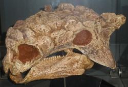 Odlitek lebky holotypu druhu Tarchia teresae, s označením PIN 3142/250. Dříve byla tato fosilie řazena také k druhům Tarchia kielanae a Saichania chulsanensis. Běžně dosahovali tito dinosauři délky kolem 5 metrů, pravděpodobně ale existovali také odrostlí obři, jejichž délka přesahovala 8 metrů. Kredit: Ghedoghedo; Wikipedie (CC BY-SA 3.0)