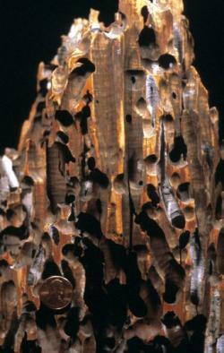 Otvory po činnosti vrtavých mlžů z čeledi Teredinidae (šášeňovití). Podobný vzor se nacházel i na zkamenělině, která zmátla německého paleontologa. Otvory, nacházející se v jedné linii, zaměnil za řadu zubních jamek. Americký cent v levém dolním rohu měří v průměru 19 mm. Kredit: Wilson44691; Wikipedie (volné dílo)