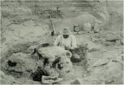 Odstraňování horniny ze zkamenělé lebky druhého vědecky rozeznaného exempláře tyranosaura, objeveného Barnumem Brownem v roce 1908 opět na území východní Montany. Samotný blok s lebkou byl velmi těžký a jeho transport z montanské pustiny do civilizace byl tedy extrémně náročnou operací. Kredit: The American Museum journal (1910), Wikipedie (volné dílo)