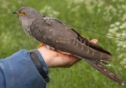 Popiska Satelitní technologie umožnila poprvé sledovat kompletní migraci několika přemístěných druhu a odhalit jejich tajemství. (Kredit: Mikkel Willemoes)