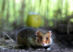 Křeček polní (obecný) Cricetus cricetus patří v západní Evropě k ohroženým druhům. (Kredit: University of Strasbourg)