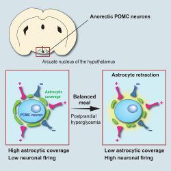 """Schema přestavby obvodu sytosti neuronů POMC. K anorektickému neuronu v hypotalamu (modře) se těsně přimyká svými výběžky astrocyt (zeleně). Takto """"přilepený"""" působí na neuron jako """"brzda"""". Po konzumaci stravy stoupne hladina cukru v krvi, astrocyt na to reaguje odtažením, brzda přestává působit a neuronu nic nebrání v šíření signálů - mozkový """"obvod sytosti"""" je propojen a pocit hladu ustupuje. (Kredit: Alexandre Benani / CNRS / CSGA)"""