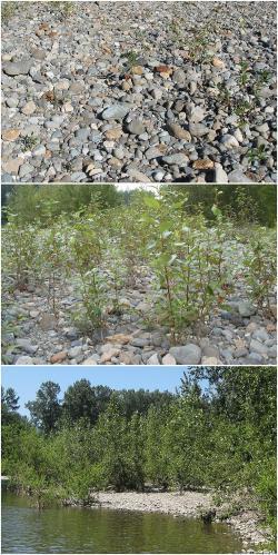 Za objev dosud neznámeho způsobu výživy rostlin mohou vrby a topoly v nivách říčky Snoqualmie. (Kredit: Sharon L. Doty)