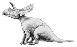 Méně pravděpodobným původcem stopy je další obří ceratopsid rodu Torosaurus. Stejně jako jeho blízký příbuzný triceratops dosahoval velkých rozměrů (jeho hlava s extrémně dlouhým lebečním límcem byla v průměru ještě delší), nebyl ale zdaleka tak početný. Podle paleontologa Jacka Hornera a některých jeho kolegů je torosaurus dokonce jen plně dospělým exemplářem triceratopse. Tato hypotéza však není v současnosti většinou odborníků uznávaná. Kredit: Jaime A. Headden; Wikipedie (CC BY 3.0)