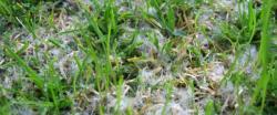 Chlorothalonilem ošetřené plochy nenapadají plísně a bílé míčky se na nich hledají snadněji. (Kredit: Richard Latin, Turfdiseases)