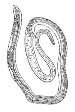 Hlístice Trichosomoides crassicanda mohla výsledky škodlivosti sacharinu zkreslit, ale nebylo tomu tak. Na obrázku samička se samečkem, kterého má ve své vagíně.