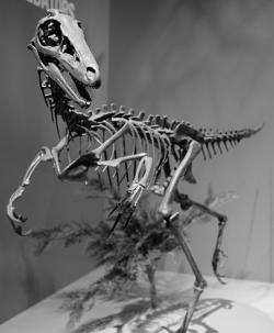 Rekonstrukce kostry teropoda druhu Troodon formosus. Pokud by dinosauři vytvořili vysoce inteligentní formy, nejspíš by vzešly právě z takovýchto dinosaurů. Povšimněte si velkých očnic a jejich stereoskopické pozice. Kredit: Greg Heartsfield, Wikipedie