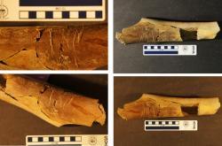 Rýhy po zubech obědvajícího tyranosaura na fosilní kosti….dalšího tyranosaura. Jiná interpretace než ta, která z ikonického teropoda dělá kanibala, bohužel není příliš pravděpodobná.Fosilie byla objevena v sedimentech souvrství Lance (stáří asi 67 až 66 milionů let) na území Wyomingu. Kredit: Matthew McLain