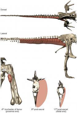Studie pravděpodobné velikosti a tvaru svalu M. caudofemoralis longus, který mohl tyranosaurům výrazně napomáhat v rychlém pohybu a udržování rovnováhy. Podle některých vědců právě předpokládaná mohutnost svalstva umožnila tyranosaurům relativně rychlý pohyb, a to i při jejich několikatunové hmotnosti. Kredit: John R. Hutchinson et al., PLoS ONE a Wikipedie (CC BY 2.5)