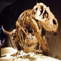 """Kostra dospělého jedince druhu Tyrannosaurus rex smontovaná v """"odpočívací"""" pozici. Pokud se autoři nově publikovaného výzkumu nemýlí, takto nějak obří predátoři skutečně odpočívali, spali a možná také číhali na svoji kořist. Kredit: ssr ist4u; Wikipedie (CC BY-SA 2.0)."""