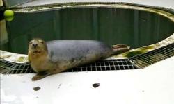 Tuleň kuželozubý (Halichoerus grypus) díky své tukové vrstvě dovede přežít v ledových vodách. O jeho hudebních vlohách jsme zatím dosud netušili. Kredit : Univerzita St. Andrews.
