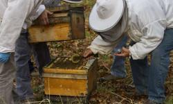Na včelstvech zamořených virem deformovaných křídel a virem jezera Sinai, zabraly houbové extrakty během několika dnů. Kredit:  Scott Weybright, WSU.