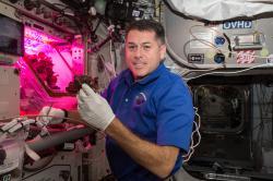 Astronaut Shane Kimbrough sklízí listy salátu vypěstovaného na Mezinárodní vesmírné stanici. Posádka úrodu snědla k večeři. Kredit: NASA