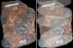 Vejce  oviraptorosaura Beibeilong sinensis obnáší na délku až  61 centimetrů.  Celé hnízdo mělo v průměru tři metry.  Také tato vejce  si uchovala zelenomodrý  nádech a i v tomto případě  v tom mají prsty protoporfyrin s biliverdinem. I jejich původní barva vajec byla zelenohnědá.  Kredit: Puet al.,Nature Communications,Wikipedie.