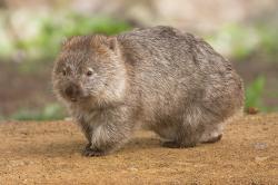 Vombat obecný (známý také jako vombat medvědovitý). Foto je z Maria Island National Park. Foto: JJ Harrison CC BY-SA 3.0, en-Wikipedia.