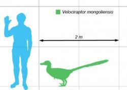 Porovnání velikosti dospělého velociraptora a dospělého člověka. Je evidentní, že se nejednalo o příliš velkého teropoda. Velociraptor dosahoval rozměrů středně velkého psa a na kořist o hmotnosti nad 100 kilogramů už si nejspíš troufal spíše jen ve smečkách. Ve své skutečné velikosti by tedy diváky Jurského parku zřejmě příliš nezaujal. Kredit: Matt Martyniuk; Wikipedie (CC BY 2.5)