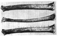 Vrubovka (rabuš, rováš), doklad početních schopností a abstraktního vyjadřování paleolitických lovců mamutů.  (Kredit: K. Absolon)