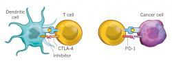 """Ako fungujú lieky, založené na inhibícii kontrolných (""""checkpoint"""") proteínov: Inhibítory CTLA-4zabraňujú naviazaniu dendritickým bunkám, ktoré by mali odovzdať informáciu cytotoxickým Tlymfocytom, ktoré dokážu ničiť určené nádorové bunky. Inhibítory PD-1 blokujú proteín PD-1,prostredníctvom ktorého sa nádorová bunka bráni naviazaniu cytotoxických T lymfocytov."""