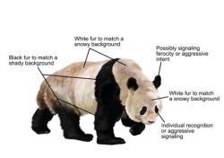 Různé sekce pandího kožíšku mají ke svému zbarvení jiný důvod.  (Kredit: Ricky Patel, UC)