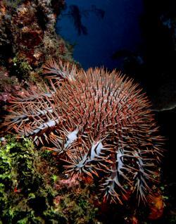 Hvězdice trnová koruna (Acanthaster planci, synonymum trnová koruna nebo hvězdice trnitá). Vyskytuje se v teplejších mořích po celém světě. Má málo přirozených nepřátel, kromě čtverzubce a asi dalších dvou ryb, je to jen plž tritonka indická, která je zřejmě imunní vůči toxickému slizu, kterým je hvězdice pokryta. (Kredit: Nhobgood – Wikipedia, licence CC BY-SA 3.0)