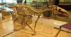 Kostra druhu Zalmoxes shqiperorum, menšího pozdně křídového ornitopoda, žijícího na území současného Rumunska. Burianosaurus augustai, žijící zhruba o 25 milionů let dříve na našem dnešním území, mohl vypadat podobně. Zde rekonstrukce kostry v expozici Přírodovědného muzea v Bruselu. Kredit: Ghedoghedo, Wikipedie (CC BY-SA 3.0)