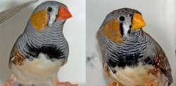 I u zebřiček je červený zobák jasným znamením o zdraví jeho nositele. Mutanti se žlutými zobáky, kteří se mezi chovateli rozšiřují a těší kvůli své zvláštnosti oblibě, dávají ve skutečnosti okolí jasně najevo, jak mizerně dovedou detoxikovat zplodiny látkového metabolismu karotenoidů. A také že i s jejich barevným viděním to nejspíš bude dost na levačku. (Kredit: Nick Mundy, University of Cambridge)