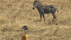 Pasoucí se zebra na pláni v Tanzanii. Ta věc v popředí je tabulka pro přesnou kalibraci barev snímků pořízených v různých lokalitách.  (Kredit: Timothy Caro/UC Davis)