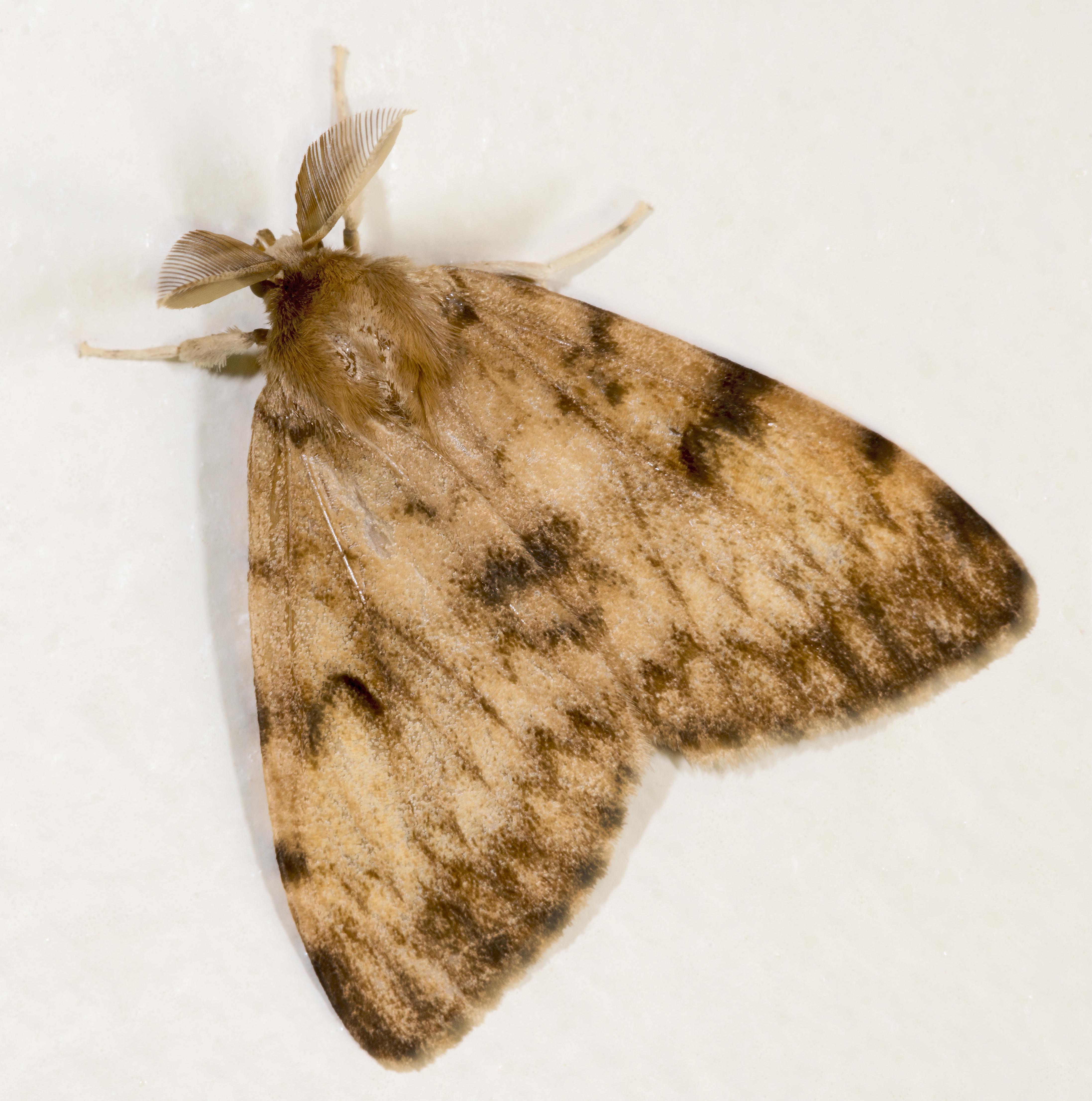 """Američtí entomologové pro gypsy moth pouští do hledání takového jména, které by Romové nepovažovali za etnickou nadávku. Na snímku je sameček, který je na rozdíl od samičky, """"snědý"""". Kredit: Didier Descouens, CC BY-SA 4.0."""