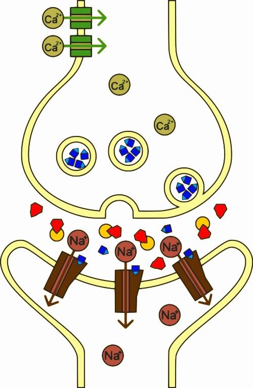Mechanismus účinku sarinu vnervosvalové ploténce. Červeně sarin, žlutě acetylcholinesteráza, modře acetylcholin. Kredit: RicHard-59 / Wikimedia Commons.