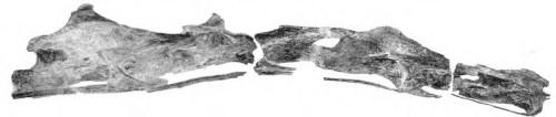 Snímek obřích krčních obratlů sauroposeidona, nejdelší z nich měří 1,4 metru. Když byly v roce 1994 objeveny, vědci je vzhledem k jejich velikosti považovali za fosilizované kmeny stromů. Bohužel není známo, nakolik se sauroposeidoni podobali tvarem