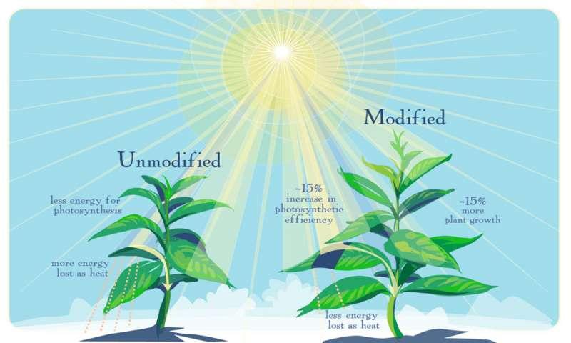 Tak, jak předpověděl počítač, nové geneticky modifikované rostliny rychleji začnou využívat energii slunečního světla ve chvílích, kdy se listy dostanou do částečného stínu a zvýší svou produkci o více než deset procent. (Kr